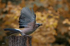 Eurasian jay - Eichelhäher (Claudia Brockmann) Tags: natur nature wildlife bird birds vögel vogel eichelhäher eurasianjay herbst herbstfarben herbstzeit autumn autumncolours bulgarien