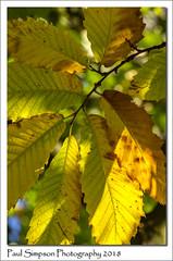 Finger Leaves (Paul Simpson Photography) Tags: nature leves leaf tree sonya77 paulsimpsonphotography imagesof imageof photoof photosof yellow naturalworld november2018 autumn autumnal fall coloursofautumn fallcolors