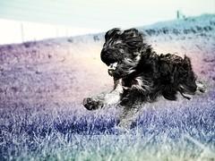 Speed (domenicaviehberger) Tags: kreativ dog animal hunderasse rasse haarig elan bewegung wendig speed nature blackandwhite black bnwphotography run funny lovedog outdoor walk playground play
