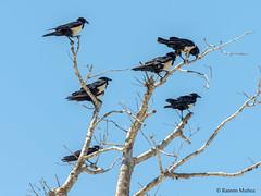 dsc9544-cuervo-po-corvus-albus-en-salary-madagascar_38624034602_o (Ramón Muñoz - Fotografía) Tags: madagascar fauna de animales parque nacional reserva cuervo pío corvus albus playa salary