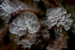 Eiskristalle (robert.pechmann) Tags: eiskristalle blume raureif makro macro