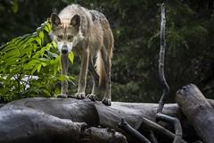 Mexican grey wolf (charlesgyoung) Tags: charlesyoung brookfieldzoo nikon nikonphotography nikondx d500 wildlifephotography wolf