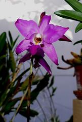 Laelia gouldiana 1-2 species orchid 11-18 (nolehace) Tags: laelia gouldiana 12 species orchid 1118 fall nolehace sanfranciso fz1000 flower bloom plant