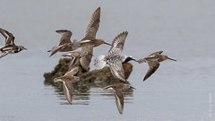 Shorebirds (Tony Varela Photography) Tags: photographertonyvarela shorebird canon shorebirdflight dowitcher blackbelliedplover dunlin ruddyturnstone longbilleddowitcher