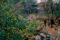Apples (bingley0522) Tags: nikkormatft3 nikkor50mmf18 ektar100 querencia murphys sierrafoothills calaverascounty thanksgivingweekend apples ordinarythings commonplacethings autaut