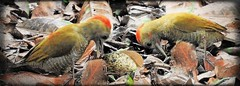 Little Woodpecker -  Pantanal Ilusion (sileneandrade10) Tags: sileneandrade picapauzinhoanao littlewoodpecker veniliornispasserinus photoedition photoart picidae picapau piciformes playphoto nikon nikoncoolpixp900