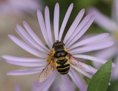 HFDF 12/21/18 (2) (cotinis) Tags: insect diptera hoverfly syrphidae eristalinae eristalis eristalistransversa northcarolina piedmont canonef100mmf28macrousm fridayflyday
