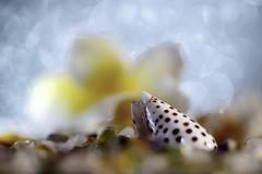Dreaming Holiday in Bokeh Island (Christian Chene Tahiti) Tags: canon 6d paea tahiti frenchpolynesia polynésiefrançaise pf polynésie holiday dream rêve vacance macro bokeh bleu jaune blanc shell closer closeup coquillage