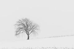 Lonely tree (hjuengst) Tags: winter winterbeauty january tree baum schnee snow bavaria bayern ebersbergerland glonn blackandwhite schwarzweis mattenhofen frauenreuth