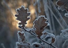 Sunrise (Kaska Ppp) Tags: frozen winter leaves leaf sunrise bokeh