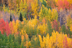 Autumn Mix (Sarah Marino) Tags: 2018fav aspens colorado sarahmarino autumn fallcolors