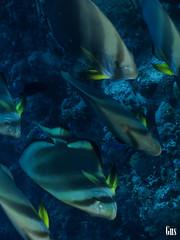 IMG_4281 (cdgobio) Tags: marrojo redsea 2018 sharkyolandareef