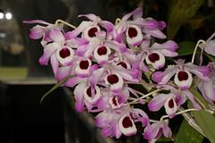 Dendrobium nobile 2018-10-05 01 (JVinOZ) Tags: orchid orchidspecies dendrobium