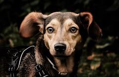 USCHI ... mach kein Quatsch (gabrieleskwar) Tags: hund portrait outdoor halfter augen nase ohren farben blätter