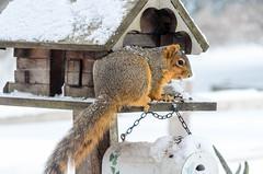 Fox Squirrel - DEL_9305-LRwm (lawde13) Tags: foxsquirrel sciurusniger