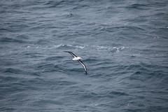IMG_0214 (y.awanohara) Tags: humpbacks humpbackwhales whales whale southgeorgia scotiasea january2019 wildlife cetacean