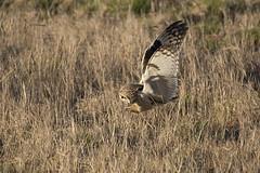 Short-eared Owl grab (featherweight2009) Tags: shortearedowl asioflammeus owls raptors birdsofprey birds