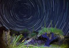 Grass Tree Star Trails (maritahills) Tags: startrails stars night nightsky nikon grasstree flare longexposure nature nationalpark westernaustralia astrophotography astro