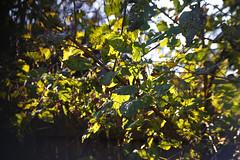 DSC09734 (Lens Lab) Tags: sony a7r achromat 100mm plants garden trees leaves
