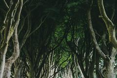 20180609The Dark Hedges160 (Acutogirl (Sandra Roberts)) Tags: antrim detail landscape northernireland trees darkhedges