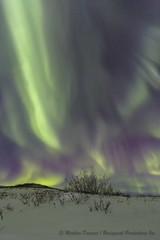 December sky-7485red2 (Mathieu Dumond) Tags: arctic canada nunavut kugluktuk kitikmeot december winter night sky tundra willows northernlights aurora borealis canon 5dmkiii mathieudumond umingmakproductions nature vertical portrait