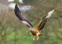 Red Kite (Monketeer) Tags: redkite kites hawk raptor llanddeusant brecon beacons wales wild wildlife buzzard commonbuzzard fox