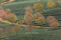 _29A1498.1218.Ô Qúy Hồ.Bản Khoang.Sapa.Lào Cai (hoanglongphoto) Tags: asia asian vietnam northvietnam northwestvietnam landscape scenery vietnamlandscape vietnamscenery vietnamscene tree trees hill hillside treeshill flower teahill teatree canon canoneos5dsr canonef500mmf4lisiiusm tâybắc làocai sapa bảnkhoang ôquýhồ phongcảnh ngọnđồi đồicây đồitrè câychè sườnđồi maianhđào hoa maianhđàosapa phongcảnhsapa