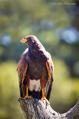 Harris hawk (Neil Adams Photography (Wirral)) Tags: harris hawk bird prey birdofprey wildlife birds