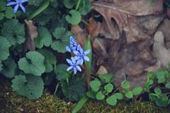 Blau im Wald (Lilith-Luana) Tags: wald grün blau braun frühling blühen