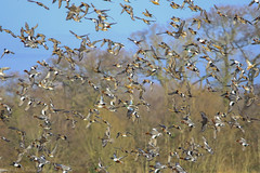 The Marsh Harrier Effect (Explored) (hunt.keith27) Tags: somerset levels marshharrier ducks wigeon teal shoveler mallard
