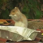 squirrel feeding 12 16 18 thumbnail