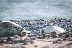 Zeit für ein wenig Ruhe... (stein.anthony) Tags: helgoland nordsee robbenbaby seal kegelrobben düne nordseeküste norddeutschland schleswigholstein strand animals tiere