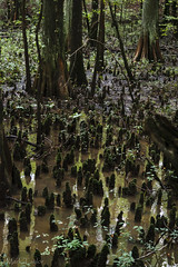 Cypress knees (*Ranger*) Tags: nikond3300 cypress knees swamp forest water green tennessee pinsonmoundsstatearchaeologicalpark