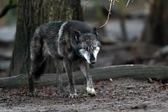 Timberwolf (Michael Döring - thx for 20.000.000 views) Tags: gelsenkirchen bismarck zoomerlebniswelt zoo timberwolf afs600mm40e d850 michaeldöring