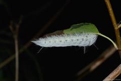 Spotted Apatelodes Caterpillar (Apatelodes torrefacta) (JHousePhotos) Tags: apatelodidae arkansas moths