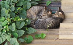 Cats of Porto (VII) (Elisa1880) Tags: cat cats katten kat poes porto portugal animal pet dier huisdier
