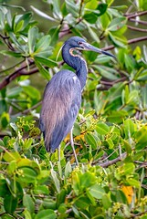 Heron in a Tree (Charles Patrick Ewing) Tags: bird birds animal animals heron herons nature wildlife natural blue green trees avian wading colorful art artistic nikon florida beautiful fave faves all everything 2019 outdoor best great landscape landscapes
