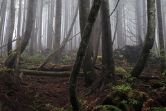 Bend / Don't Break (kephart_kyle) Tags: cannonbeach coast ecolastatepark fall fog foliage forest mist october oregon rain rainforest trees