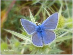Common Blue Butterfly (Nadine V.) Tags: icarusblauwtje polyommatusicarus mannetje blauwtje lycaenidae commonblue vlinder papillon panasonic lumix fz200