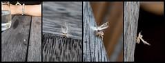 visitor (glasnevinz) Tags: newzealand wairarapa martinborough insect strange planthoppernymph