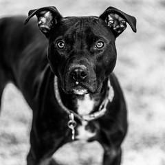 Penny18Jan20197-Edit.jpg (fredstrobel) Tags: dogs pawsatanta phototype atlanta blackandwhite usa animals ga pets places pawsdogs decatur georgia unitedstatesofamerica us