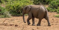 DSC08888 (Paddy-NX) Tags: 2019 20190109 addoelephantnationalpark africa elephant sony sonya77ii sonyalpha sonyalphaa77ii sonysal70300g southafrica wildlife