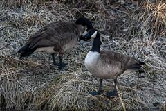 Canada Goose (RaDel Hinckley) Tags: canadagoose