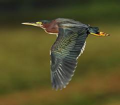 11-04-18-0040895 (Lake Worth) Tags: animal animals bird birds birdwatcher everglades southflorida feathers florida nature outdoor outdoors waterbirds wetlands wildlife wings