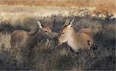 Sharing is Caring (adecoleman) Tags: wildlife nature animal deer reddeer mammal bushypark woodland grass trees autumn sunlight canon5dmkiv canonphotography