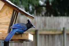 Steller's Jay (Linda on the bridge to NewWhere) Tags: bird compositionallychallenged jay