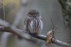 Eurasian pygmy owl (hkkbs) Tags: nikond800 nikkor200500mmf56eedvr eurasianpygmyowl sparvuggla glaucidiumpasserinum fågel bird fåglar birds jonsered jonseredsfabriker partillekommun västkusten westcoast sverige sweden