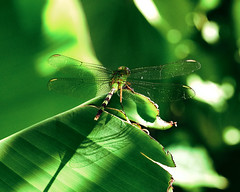 perched on a banana leaf (rosserx) Tags: macromondays green dragonfly bug insect wings banana leaf