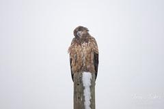 Curious juvenile Bald Eagle