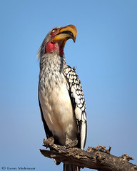 Who goes there? (leendert3) Tags: leonmolenaar southafrica krugernationalpark wildlife nature birds yellowbilledhornbill naturethroughthelens coth5 ngc npc